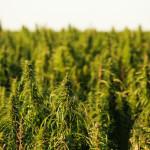 hemp fields 2