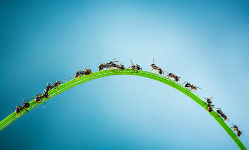 ants marching on a blade of grass