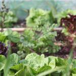 food garden leafy vegetables