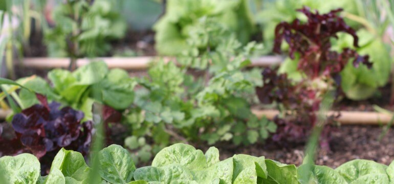 food garden leafy vegetables