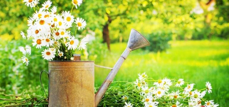 sunny garden daisies