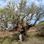 cork oak tree
