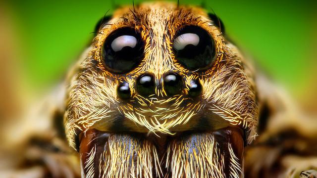 wolf spider face