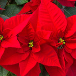poinsettia classic christmas flowers
