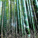 bamboo grove thumb