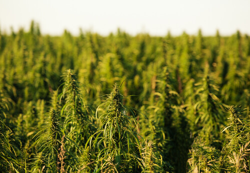 hemp fields 2
