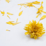 dried flowers chrysanthemum
