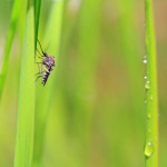 mosquito on blade of grass