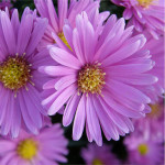 bright aster color palette