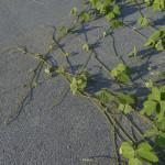 kudzu invasive plant