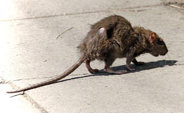 640px-Street-rat