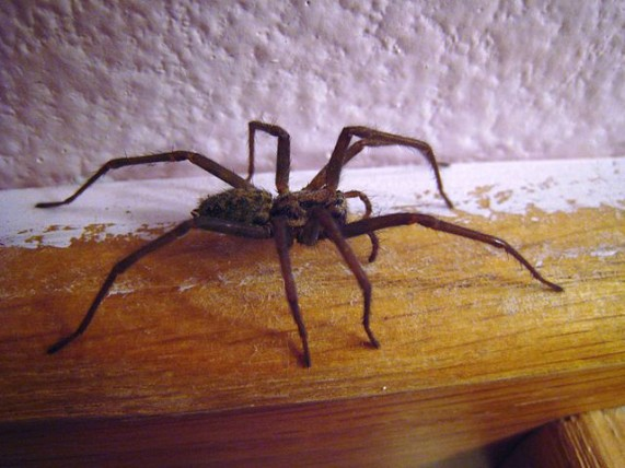 640px-House_spider_side_view_01