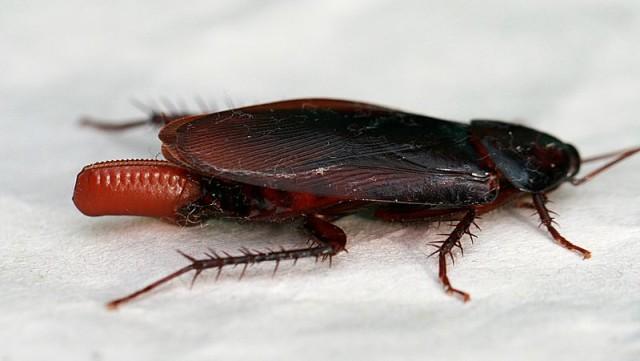 800px-Cockroach_egglaying_2