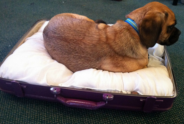 Dog in suitcase bed