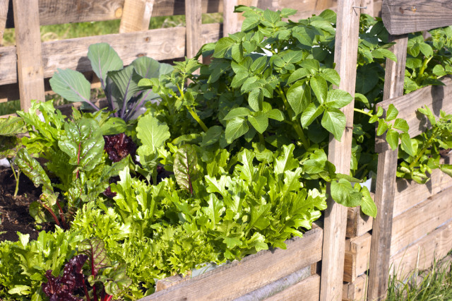 edible landscaping pallet container garden lettuce
