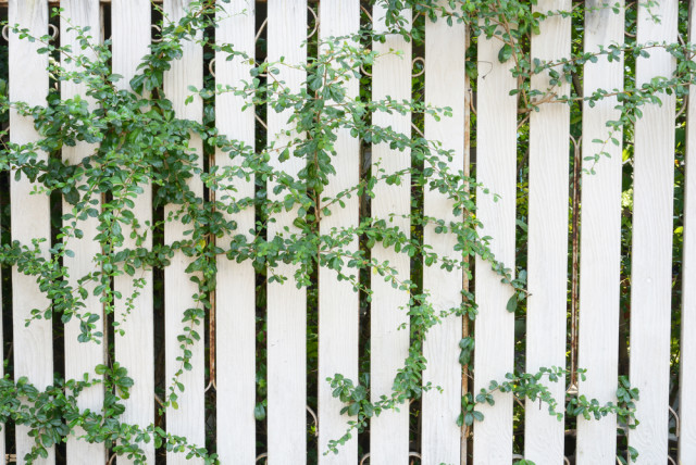 fences and climbing vines