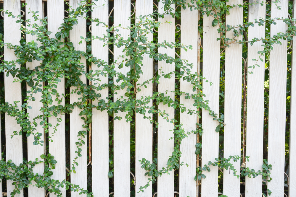 3 ways to make fences more attractive for Fast growing fence covering plants