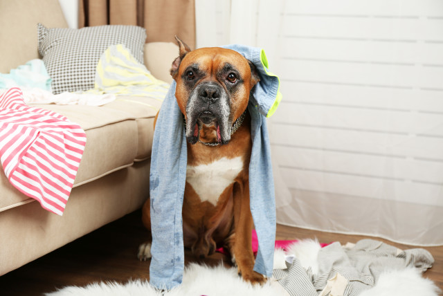 dog covered with clothes