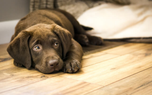 protect your floors from pets