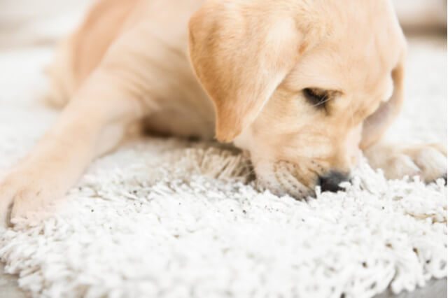 puppy snagging carpet